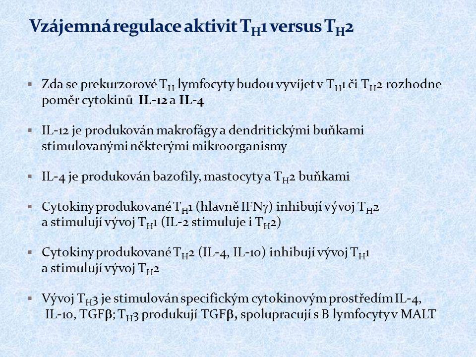  Zda se prekurzorové T H lymfocyty budou vyvíjet v T H 1 či T H 2 rozhodne poměr cytokinů IL-12 a IL-4  IL-12 je produkován makrofágy a dendritickými buňkami stimulovanými některými mikroorganismy  IL-4 je produkován bazofily, mastocyty a T H 2 buňkami  Cytokiny produkované T H 1 (hlavně IFN  ) inhibují vývoj T H 2 a stimulují vývoj T H 1 (IL-2 stimuluje i T H 2)  Cytokiny produkované T H 2 (IL-4, IL-10) inhibují vývoj T H 1 a stimulují vývoj T H 2  Vývoj T H 3 je stimulován specifickým cytokinovým prostředím IL-4, IL-10, TGF  ; T H 3 produkují TGF , spolupracují s B lymfocyty v MALT