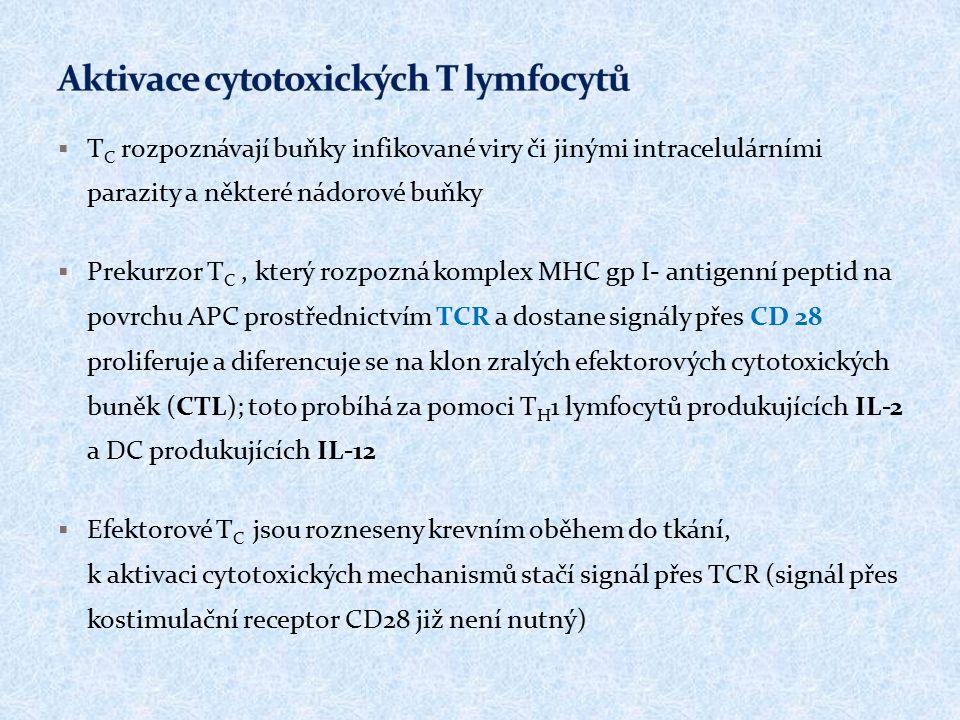  T C rozpoznávají buňky infikované viry či jinými intracelulárními parazity a některé nádorové buňky  Prekurzor T C, který rozpozná komplex MHC gp I- antigenní peptid na povrchu APC prostřednictvím TCR a dostane signály přes CD 28 proliferuje a diferencuje se na klon zralých efektorových cytotoxických buněk (CTL); toto probíhá za pomoci T H 1 lymfocytů produkujících IL-2 a DC produkujících IL-12  Efektorové T C jsou rozneseny krevním oběhem do tkání, k aktivaci cytotoxických mechanismů stačí signál přes TCR (signál přes kostimulační receptor CD28 již není nutný)