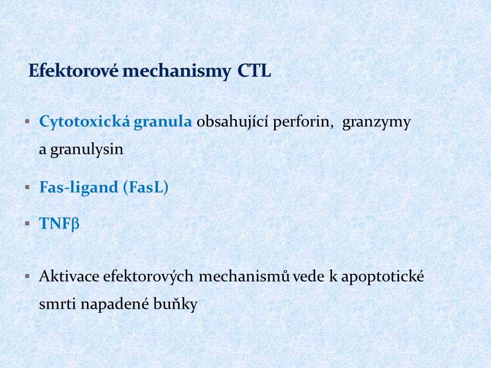  Cytotoxická granula obsahující perforin, granzymy a granulysin  Fas-ligand (FasL)  TNF   Aktivace efektorových mechanismů vede k apoptotické smrti napadené buňky