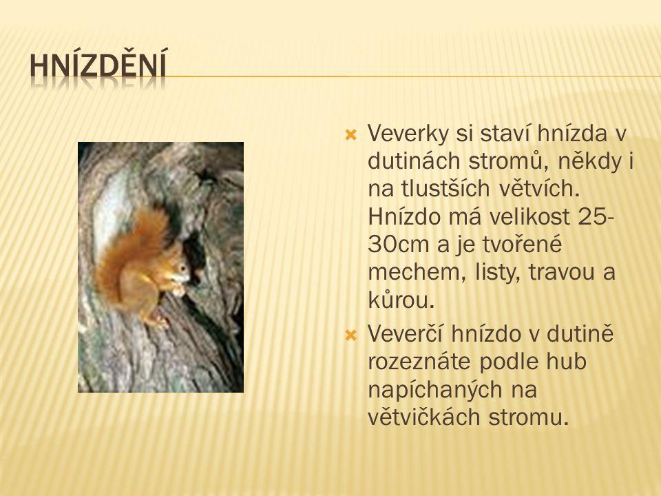  Veverky si staví hnízda v dutinách stromů, někdy i na tlustších větvích.