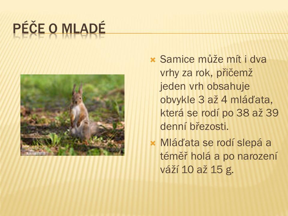  Samice může mít i dva vrhy za rok, přičemž jeden vrh obsahuje obvykle 3 až 4 mláďata, která se rodí po 38 až 39 denní březosti.
