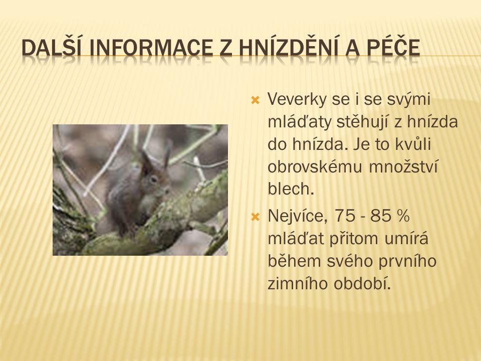  Veverky se i se svými mláďaty stěhují z hnízda do hnízda.