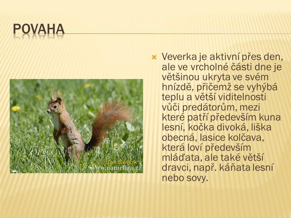  Veverky až do doby rozmnožování jsou samotářské a přítomnost ostatních nevyhledávají.