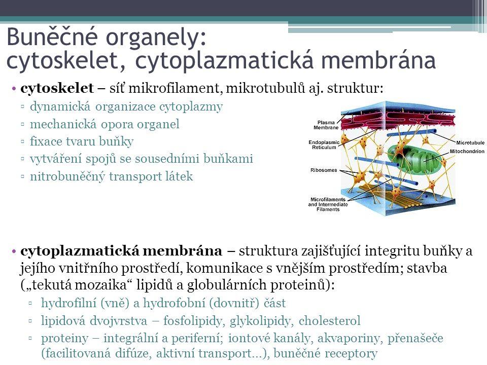 cytoskelet – síť mikrofilament, mikrotubulů aj.