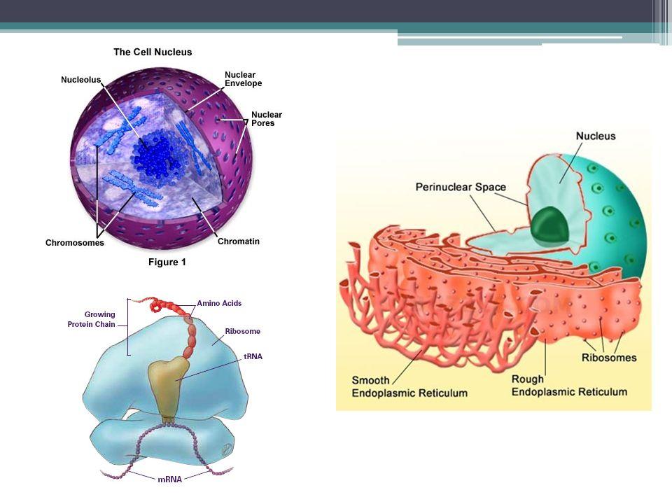 energetické centrum buňky semiautonomní organela 2 membrány, kristy + matrix spřažený systém biologických oxidací Krebsův cyklus, oxidace H + v dýchacím řetězci, oxidativní fosforylace (tvorba ATP), beta-oxidace mastných kyselin endosymbiotická teorie: ▫mitochondrie jako aerobní bakterie pohlcená složitějším organismem v období nárůstu O 2 (pro složitější organismus toxického) v atmosféře ▫vzájemně prospěšný vztah (příjem potravy vs.