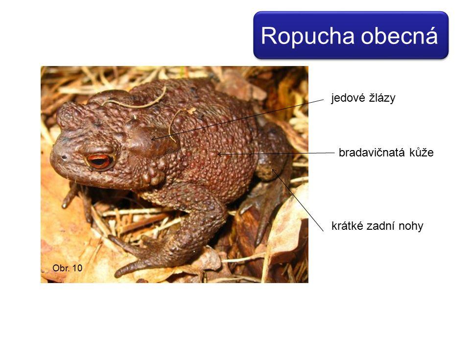jedové žlázy bradavičnatá kůže krátké zadní nohy Obr. 10 Ropucha obecná