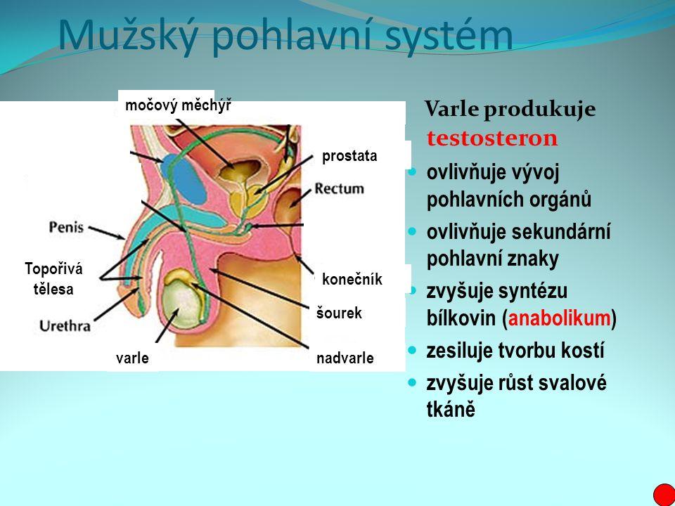 Mužský pohlavní systém Varle produkuje testosteron ovlivňuje vývoj pohlavních orgánů ovlivňuje sekundární pohlavní znaky zvyšuje syntézu bílkovin (anabolikum) zesiluje tvorbu kostí zvyšuje růst svalové tkáně varlenadvarle šourek konečník prostata močový měchýř Topořivá tělesa