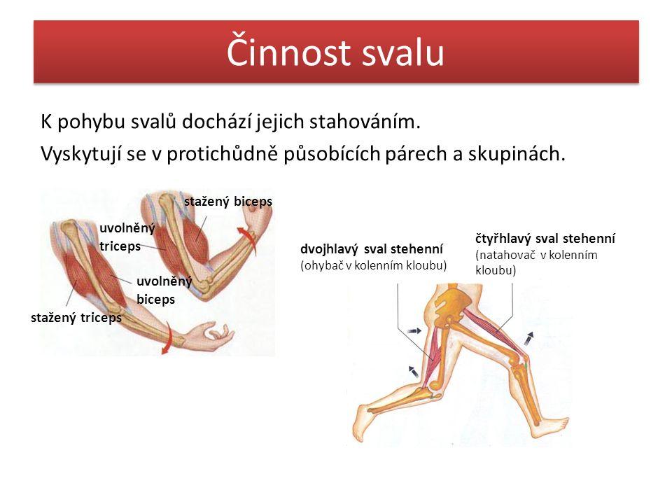Činnost svalu K pohybu svalů dochází jejich stahováním. Vyskytují se v protichůdně působících párech a skupinách. stažený biceps uvolněný triceps uvol