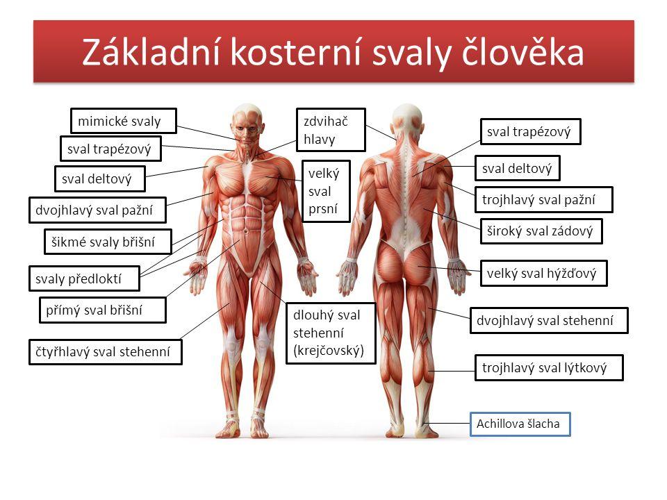 Základní kosterní svaly člověka mimické svaly sval trapézový sval deltový dvojhlavý sval pažní šikmé svaly břišní svaly předloktí přímý sval břišní čt