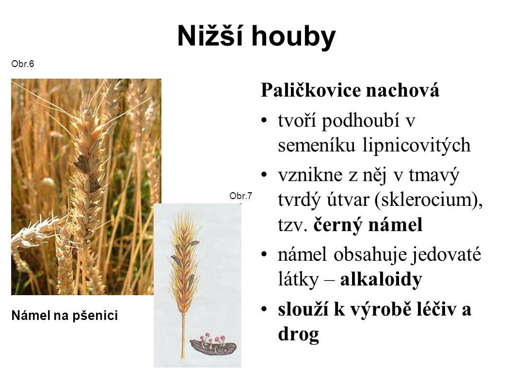 Nižší houby Obr.6 Námel na pšenici Obr.7 Paličkovice nachová tvoří podhoubí v semeníku lipnicovitých vznikne z něj v tmavý tvrdý útvar (sklerocium), tzv.