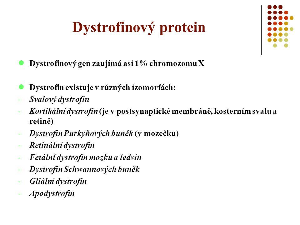 Dystrofinový protein Dystrofinový gen zaujímá asi 1% chromozomu X Dystrofin existuje v různých izomorfách: -Svalový dystrofin -Kortikální dystrofin (je v postsynaptické membráně, kosterním svalu a retině) -Dystrofin Purkyňových buněk (v mozečku) -Retinální dystrofin -Fetální dystrofin mozku a ledvin -Dystrofin Schwannových buněk -Gliální dystrofin -Apodystrofin