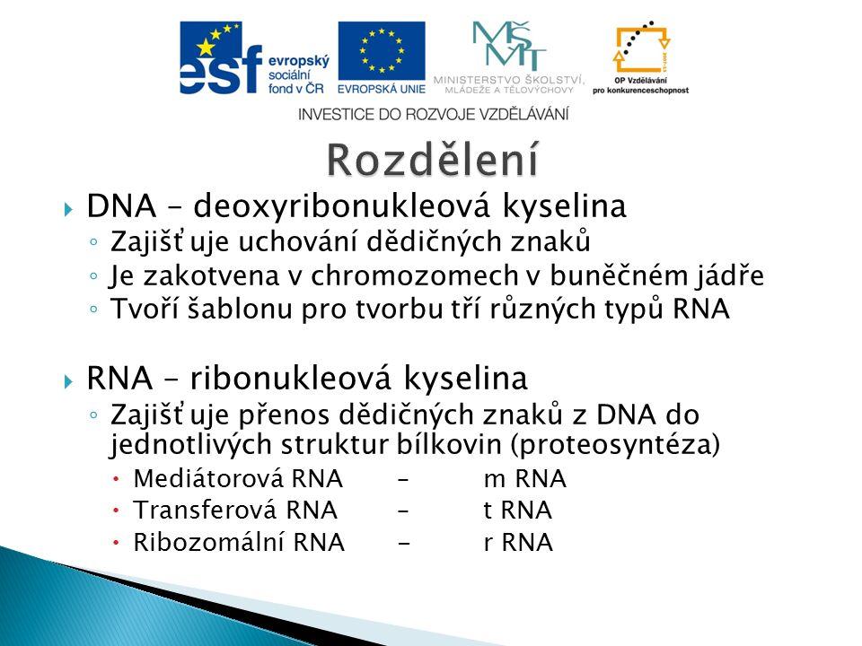  DNA – deoxyribonukleová kyselina ◦ Zajišťuje uchování dědičných znaků ◦ Je zakotvena v chromozomech v buněčném jádře ◦ Tvoří šablonu pro tvorbu tří různých typů RNA  RNA – ribonukleová kyselina ◦ Zajišťuje přenos dědičných znaků z DNA do jednotlivých struktur bílkovin (proteosyntéza)  Mediátorová RNA – m RNA  Transferová RNA – t RNA  Ribozomální RNA- r RNA