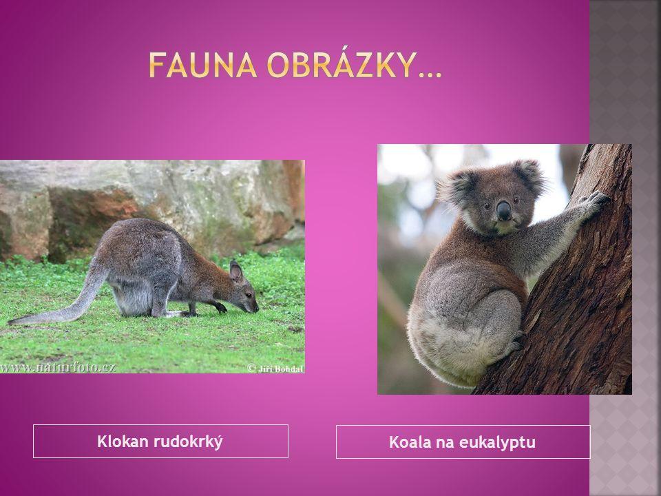 Klokan rudokrký Koala na eukalyptu
