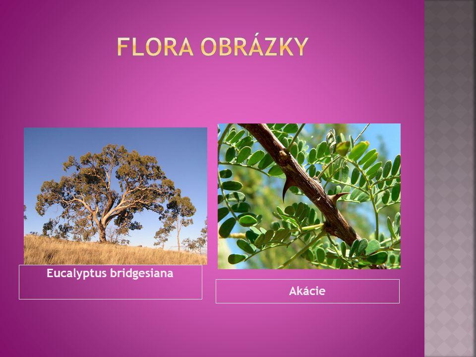 Eucalyptus bridgesiana Akácie