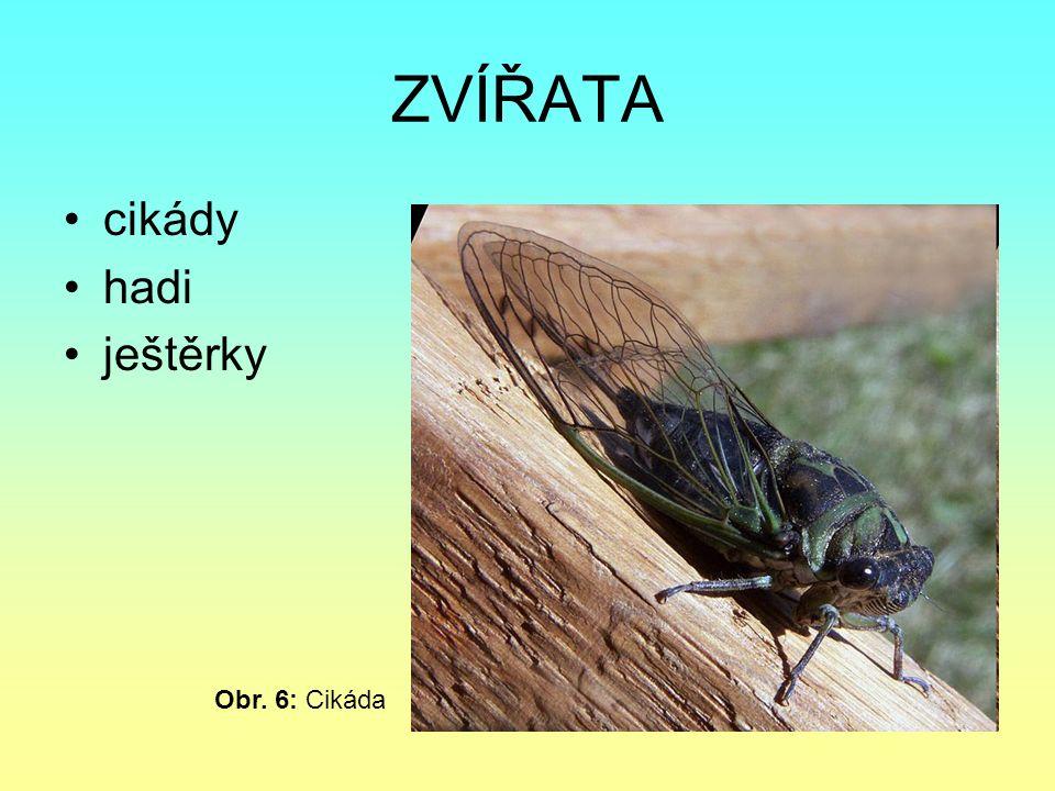 cikády hadi ještěrky ZVÍŘATA Obr. 6: Cikáda