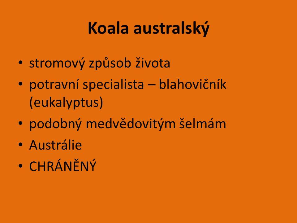 Koala australský stromový způsob života potravní specialista – blahovičník (eukalyptus) podobný medvědovitým šelmám Austrálie CHRÁNĚNÝ