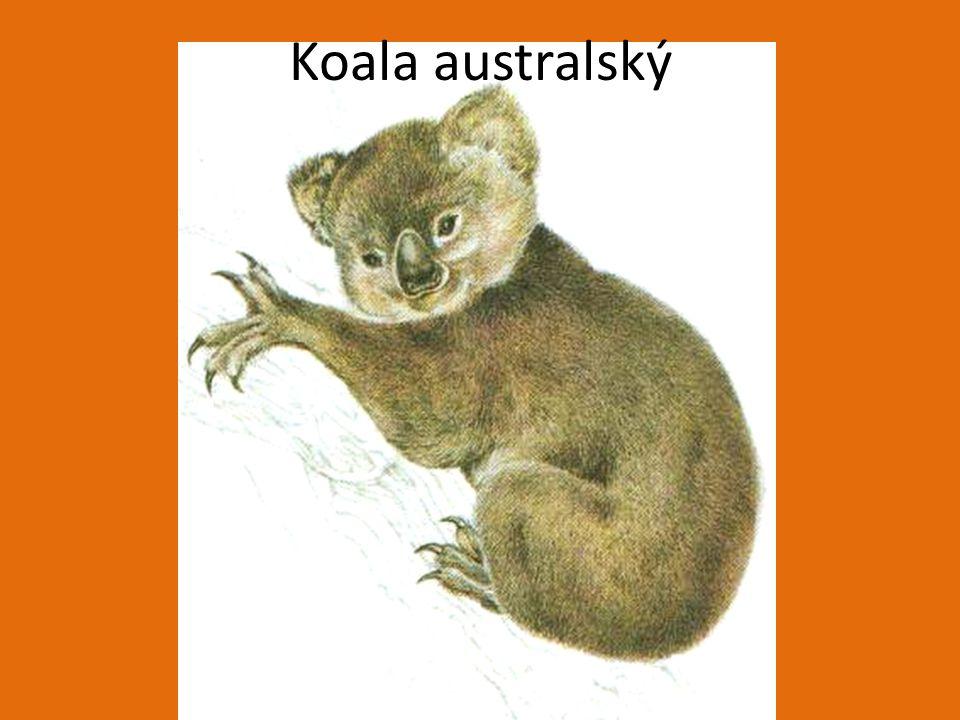 Koala australský