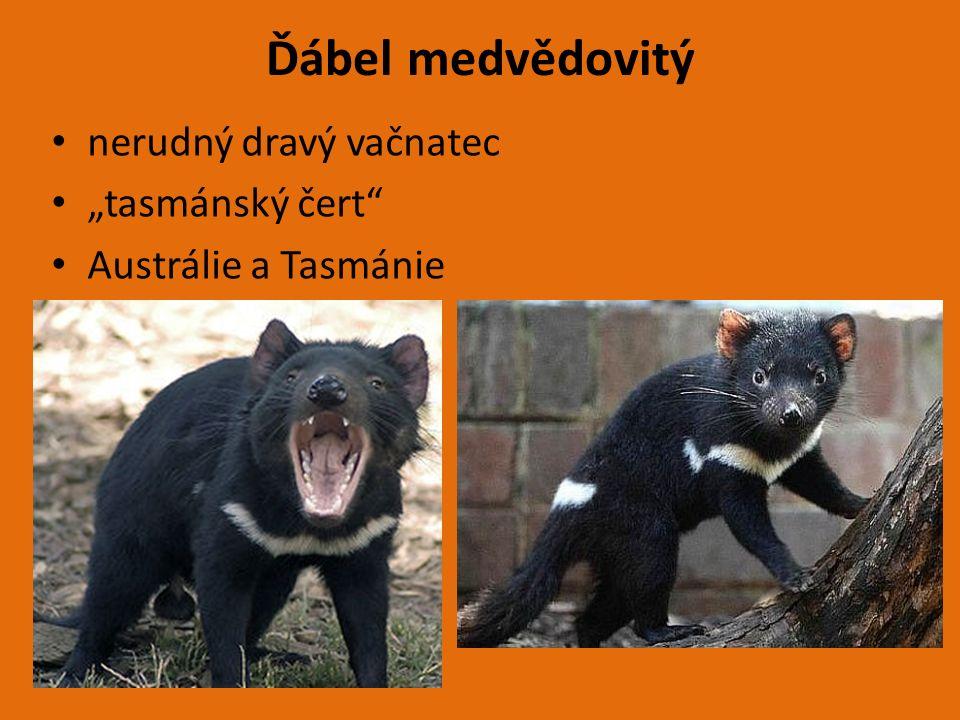 """Ďábel medvědovitý nerudný dravý vačnatec """"tasmánský čert Austrálie a Tasmánie"""
