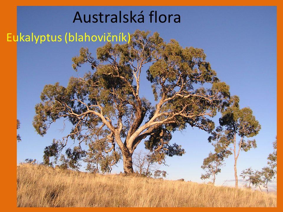 Eukalyptus (blahovičník) Australská flora