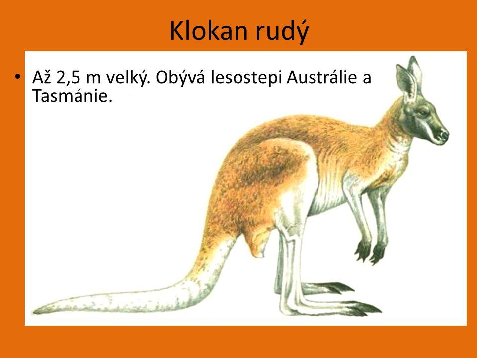 Klokan rudý Až 2,5 m velký. Obývá lesostepi Austrálie a Tasmánie.