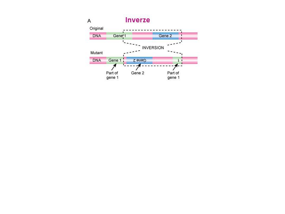 Inverze TranslokaceDuplikace