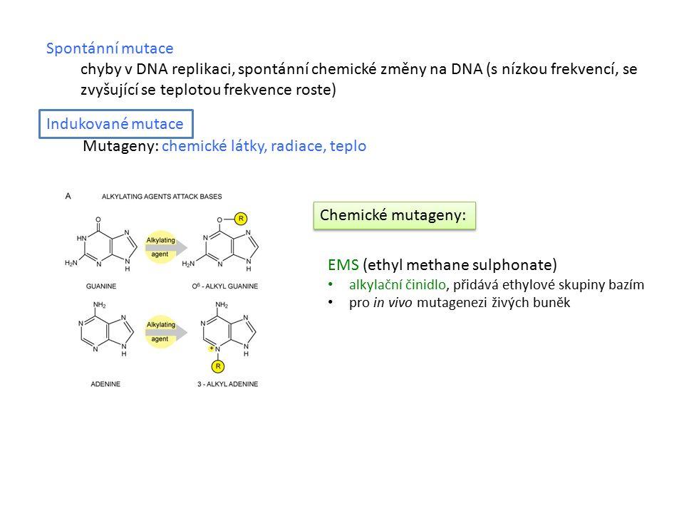 Spontánní mutace chyby v DNA replikaci, spontánní chemické změny na DNA (s nízkou frekvencí, se zvyšující se teplotou frekvence roste) EMS (ethyl methane sulphonate) alkylační činidlo, přidává ethylové skupiny bazím pro in vivo mutagenezi živých buněk Dusitany (NO 2 - ) přeměna aminoskupin na hydroxyskupiny mutace 5-methyl cytosinu na thymin pro in vitro mutagenezi plazmidů Mutageny: chemické látky, radiace, teplo Chemické mutageny: Indukované mutace E250 – dusitan sodný přeměna na rakovinotvorné nitrosaminy