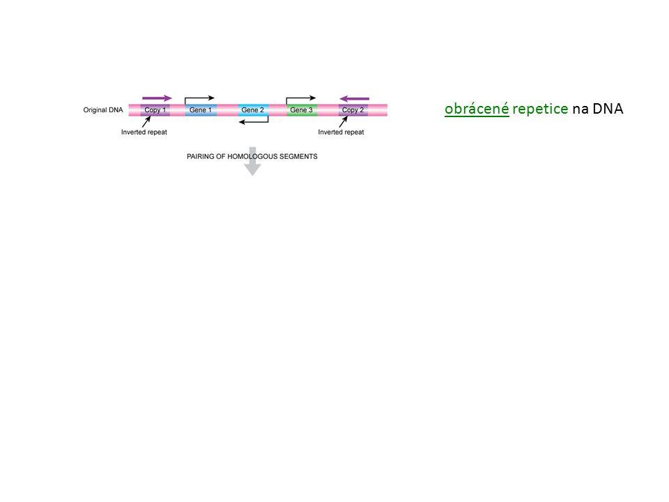 obrácené repetice na DNA INVERZE