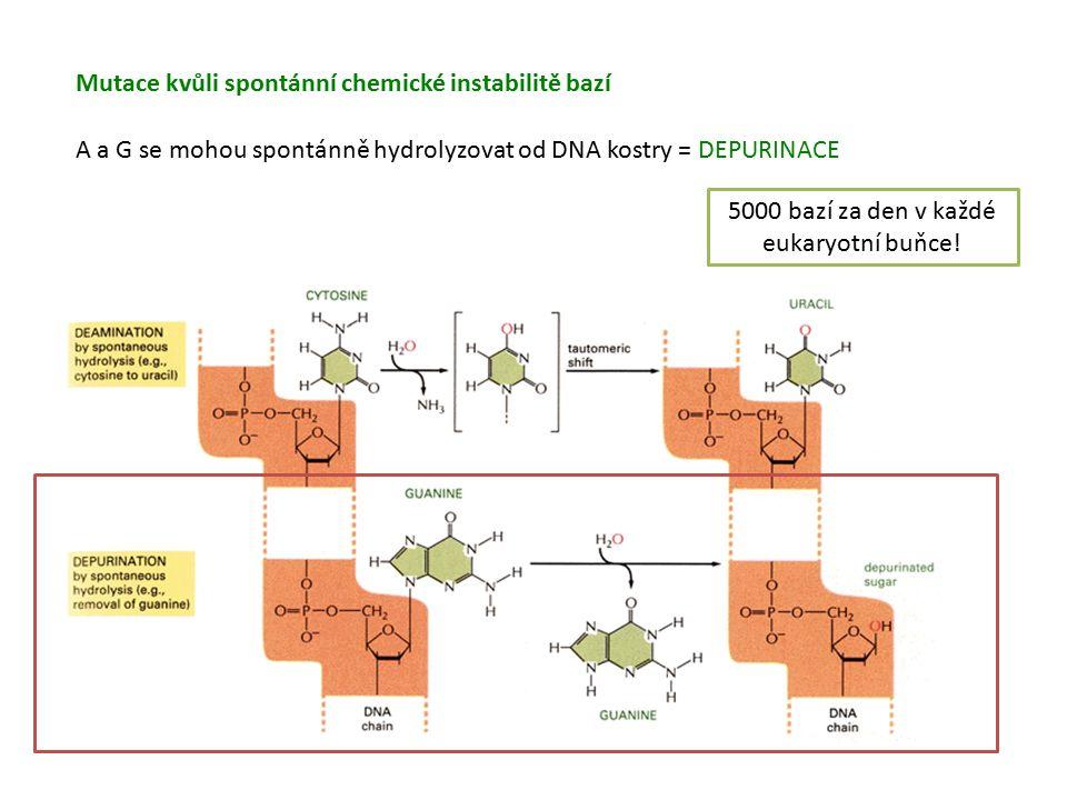 Mutace kvůli spontánní chemické instabilitě bazí A a G se mohou spontánně hydrolyzovat od DNA kostry = DEPURINACE 5000 bazí za den v každé eukaryotní buňce!