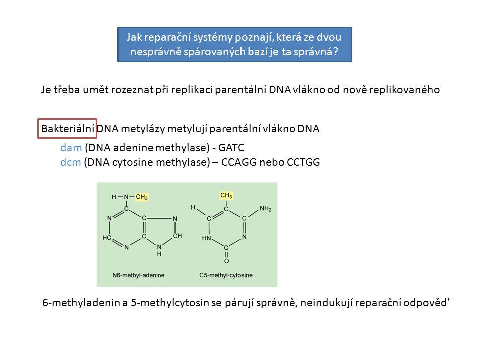 Je třeba umět rozeznat při replikaci parentální DNA vlákno od nově replikovaného Jak reparační systémy poznají, která ze dvou nesprávně spárovaných bazí je ta správná.