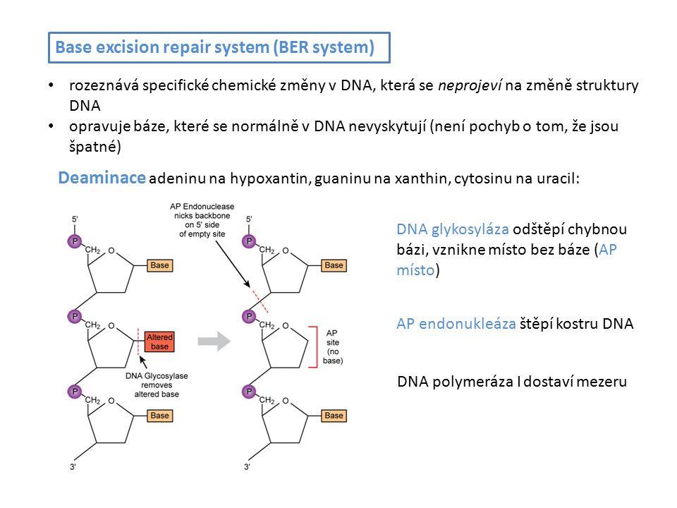 Base excision repair system (BER system) rozeznává specifické chemické změny v DNA, která se neprojeví na změně struktury DNA opravuje báze, které se normálně v DNA nevyskytují (není pochyb o tom, že jsou špatné) DNA glykosyláza odštěpí chybnou bázi, vznikne místo bez báze (AP místo) AP endonukleáza štěpí kostru DNA DNA polymeráza I dostaví mezeru Deaminace adeninu na hypoxantin, guaninu na xanthin, cytosinu na uracil: