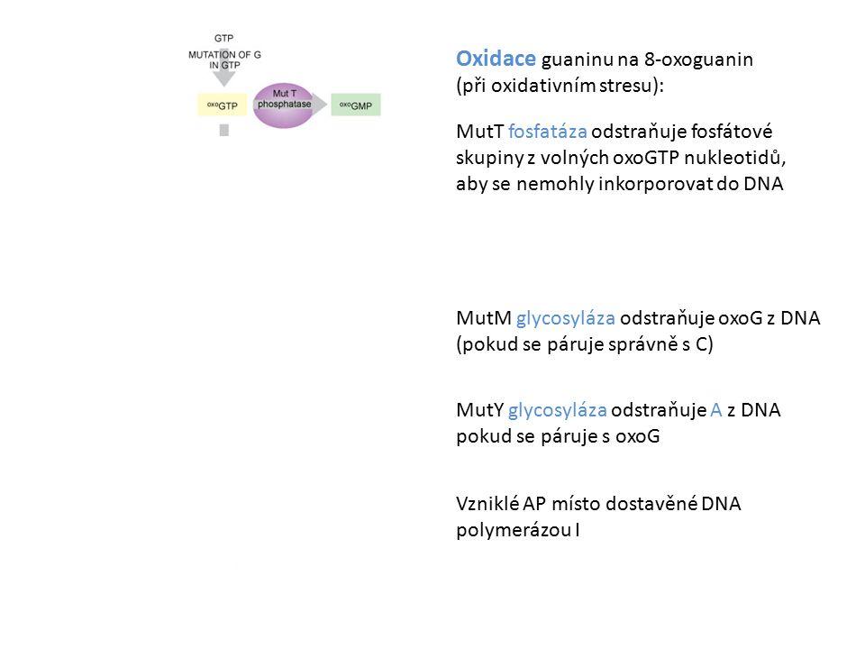 Oxidace guaninu na 8-oxoguanin (při oxidativním stresu): MutT fosfatáza odstraňuje fosfátové skupiny z volných oxoGTP nukleotidů, aby se nemohly inkorporovat do DNA MutM glycosyláza odstraňuje oxoG z DNA (pokud se páruje správně s C) MutY glycosyláza odstraňuje A z DNA pokud se páruje s oxoG Vzniklé AP místo dostavěné DNA polymerázou I