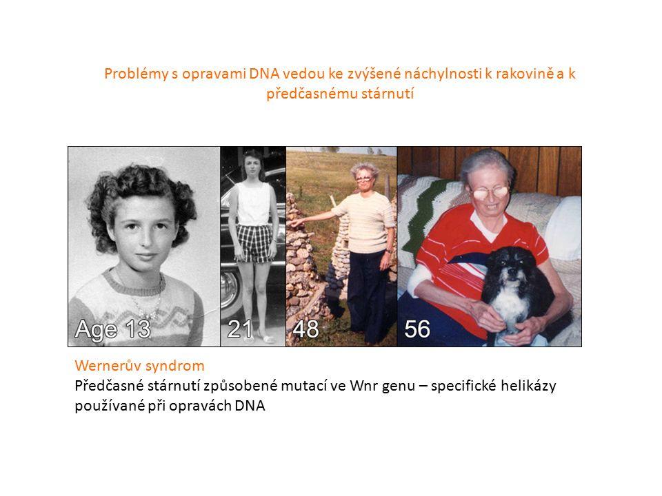 Wernerův syndrom Předčasné stárnutí způsobené mutací ve Wnr genu – specifické helikázy používané při opravách DNA Problémy s opravami DNA vedou ke zvýšené náchylnosti k rakovině a k předčasnému stárnutí