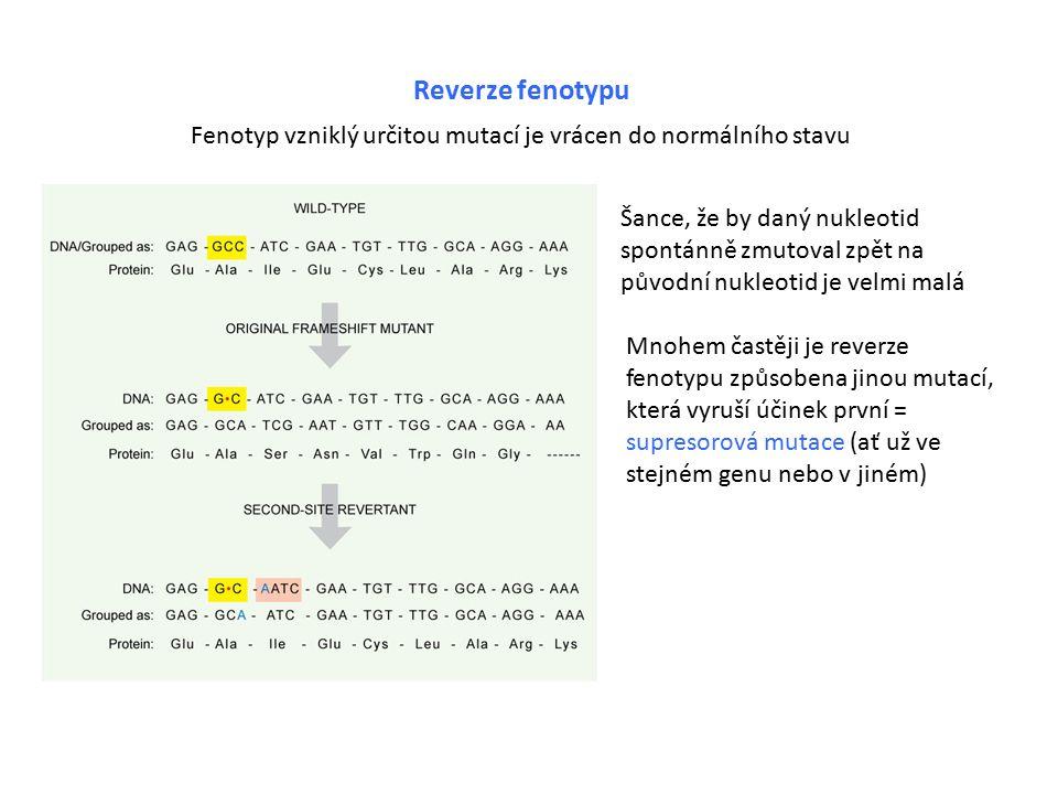 Reverze fenotypu Fenotyp vzniklý určitou mutací je vrácen do normálního stavu Šance, že by daný nukleotid spontánně zmutoval zpět na původní nukleotid je velmi malá Mnohem častěji je reverze fenotypu způsobena jinou mutací, která vyruší účinek první = supresorová mutace (ať už ve stejném genu nebo v jiném)