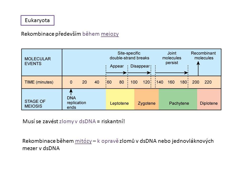 Eukaryota Rekombinace především během meiozy Musí se zavést zlomy v dsDNA = riskantní.