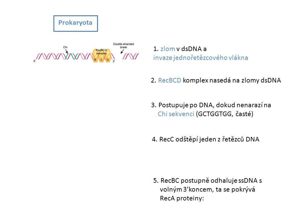 1. zlom v dsDNA a invaze jednořetězcového vlákna 2.