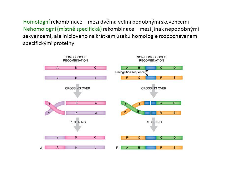 Homologní rekombinace - mezi dvěma velmi podobnými skevencemi Nehomologní (místně specifická) rekombinace – mezi jinak nepodobnými sekvencemi, ale iniciováno na krátkém úseku homologie rozpoznávaném specifickými proteiny
