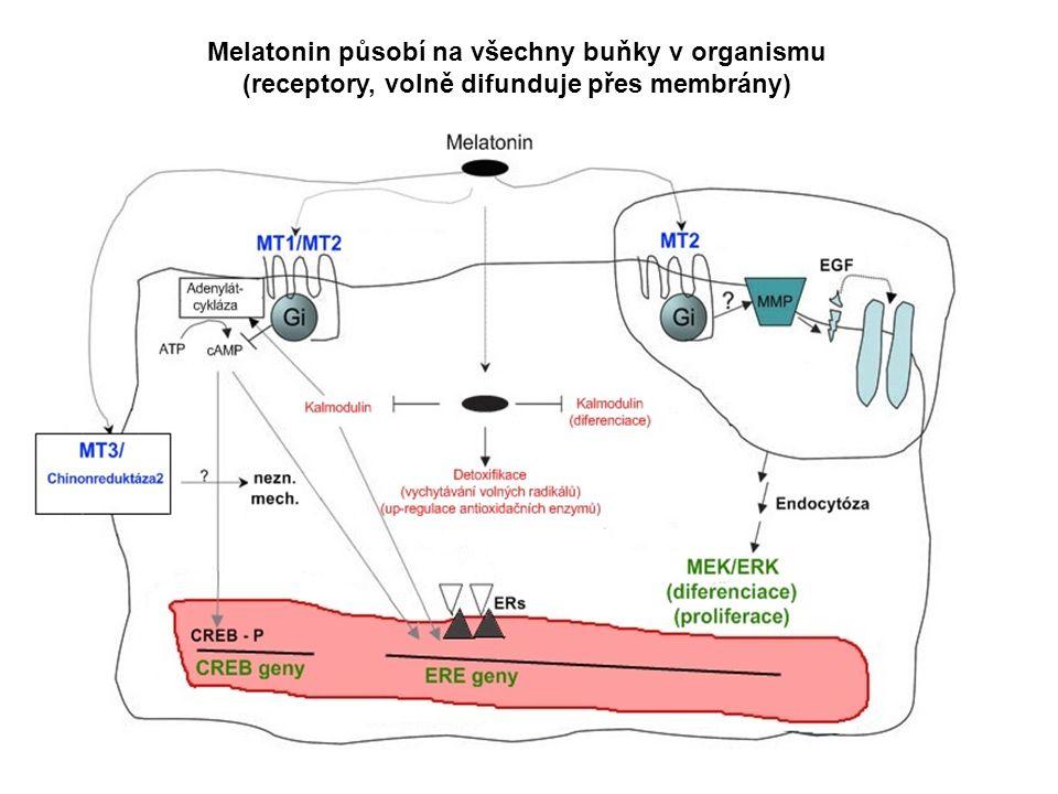 Melatonin působí na všechny buňky v organismu (receptory, volně difunduje přes membrány)