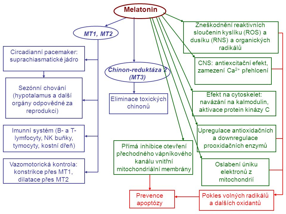 Melatonin Circadianní pacemaker: suprachiasmatické jádro Sezónní chování (hypotalamus a další orgány odpovědné za reprodukci) Vazomotorická kontrola: konstrikce přes MT1, dilatace přes MT2 Imunní systém (B- a T- lymfocyty, NK buňky, tymocyty, kostní dřeň) Zneškodnění reaktivních sloučenin kyslíku (ROS) a dusíku (RNS) a organických radikálů Eliminace toxických chinonů CNS: antiexcitační efekt, zamezení Ca 2+ přehlcení Efekt na cytoskelet: navázání na kalmodulin, aktivace protein kinázy C Upregulace antioxidačních a downregulace prooxidačních enzymů Oslabení úniku elektronů z mitochondrií Pokles volných radikálů a dalších oxidantů Prevence apoptózy Přímá inhibice otevření přechodného vápníkového kanálu vnitřní mitochondriální membrány MT1, MT2 Chinon-reduktáza 2 (MT3)