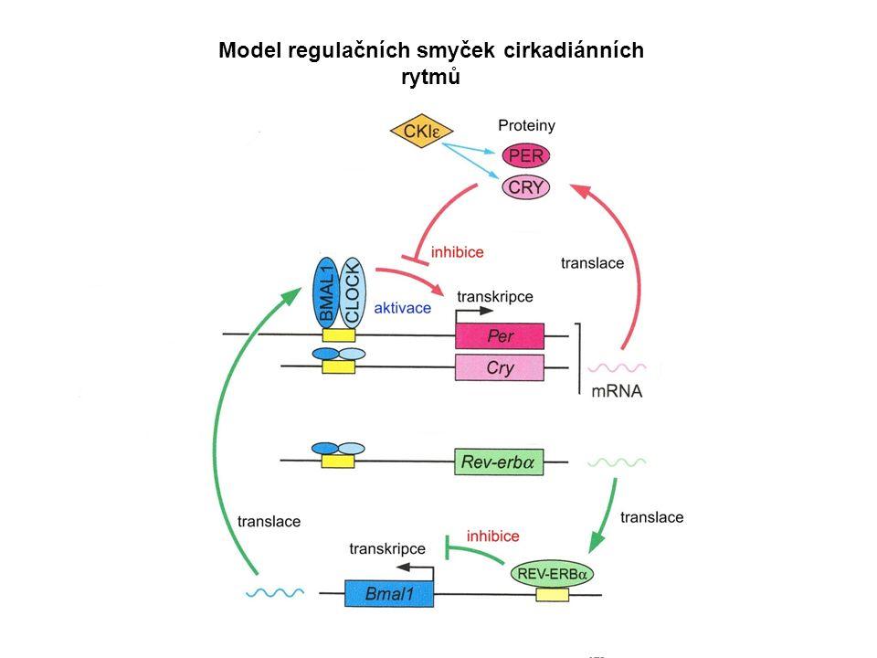 Model regulačních smyček cirkadiánních rytmů