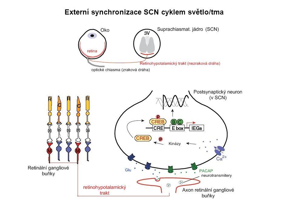 Externí synchronizace SCN cyklem světlo/tma