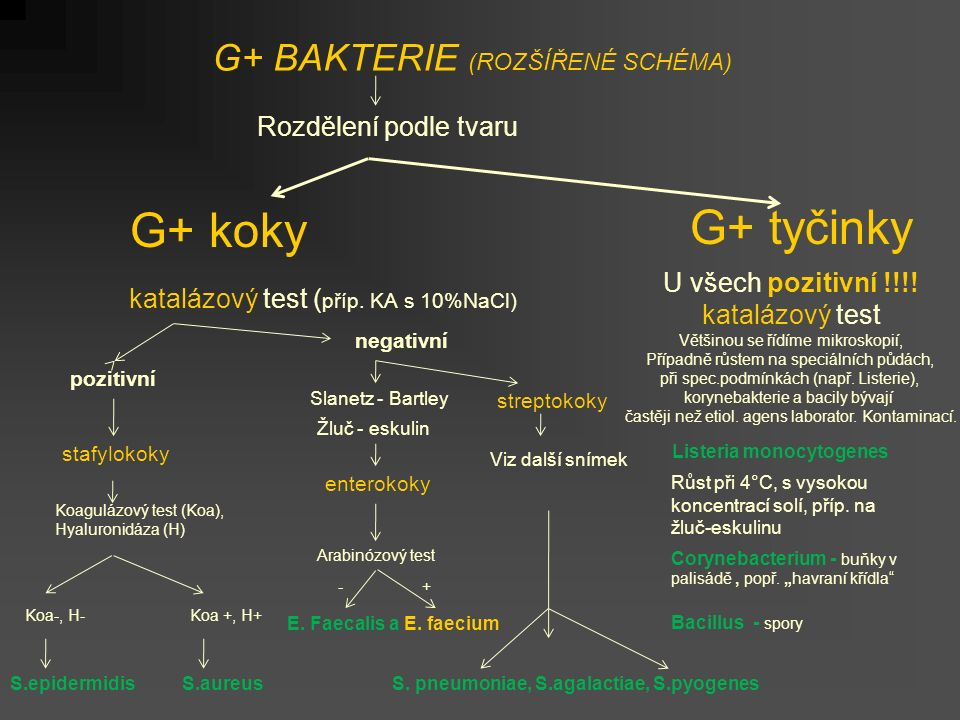 G+ BAKTERIE (ROZŠÍŘENÉ SCHÉMA) Rozdělení podle tvaru G+ koky G+ tyčinky katalázový test ( příp.