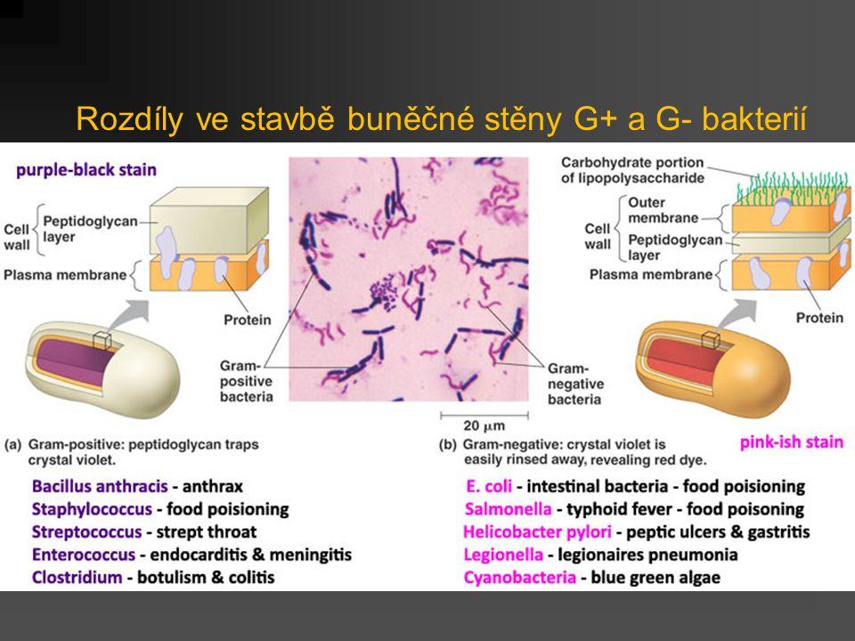 Rozdíly ve stavbě buněčné stěny G+ a G- bakterií