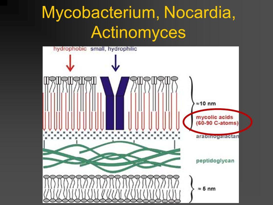 Mycobacterium, Nocardia, Actinomyces