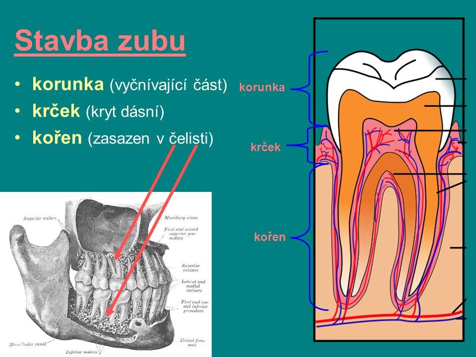 Stavba zubu korunka (vyčnívající část) krček (kryt dásní) kořen (zasazen v čelisti) korunka krček kořen