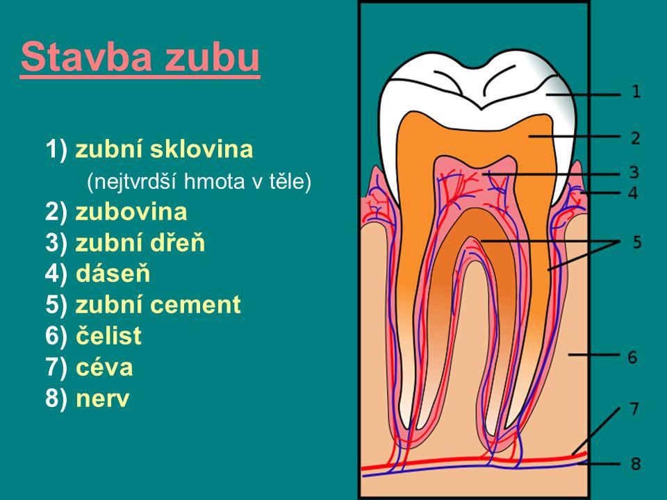 Stavba zubu 1) zubní sklovina (nejtvrdší hmota v těle) 2) zubovina 3) zubní dřeň 4) dáseň 5) zubní cement 6) čelist 7) céva 8) nerv