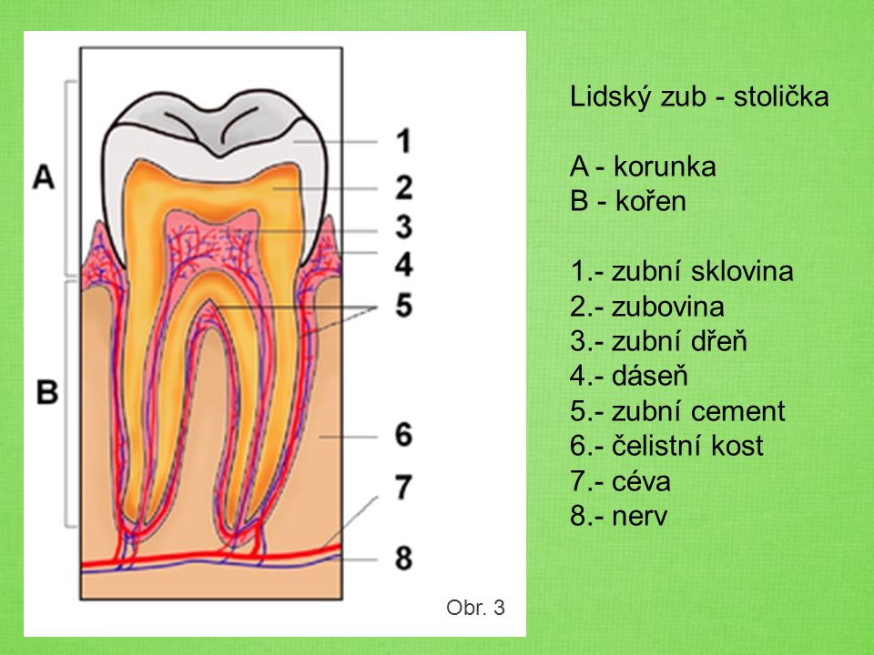 Obr. 3 Lidský zub - stolička A - korunka B - kořen 1.- zubní sklovina 2.- zubovina 3.- zubní dřeň 4.- dáseň 5.- zubní cement 6.- čelistní kost 7.- cév