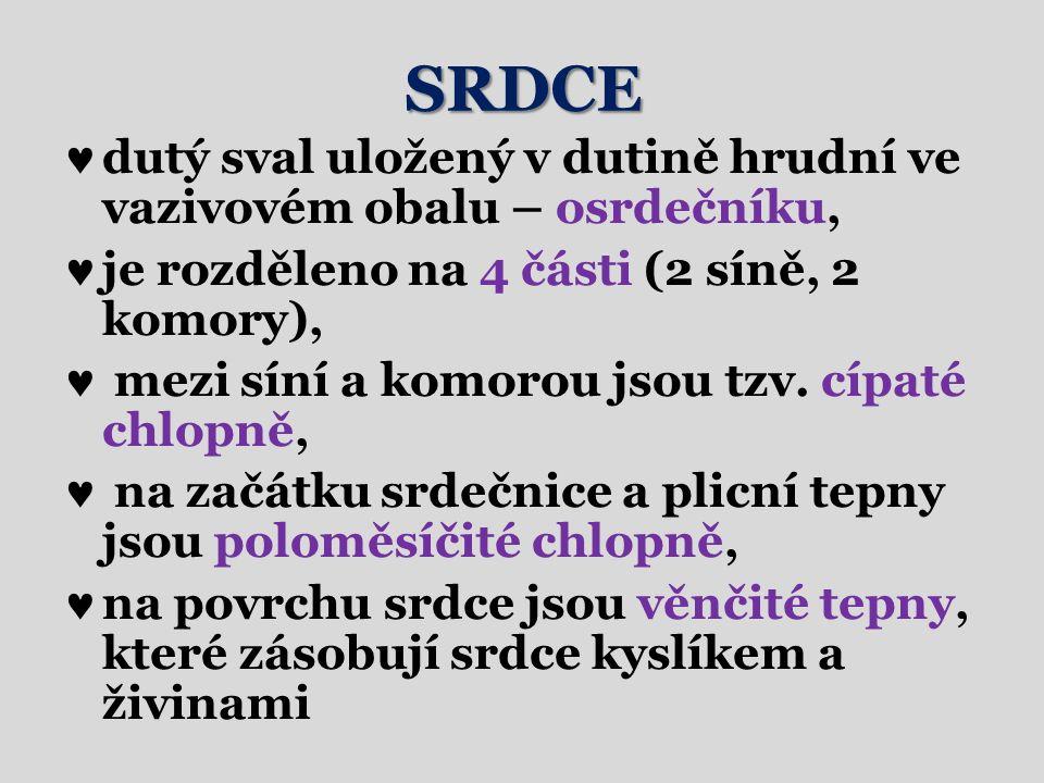 SRDCE dutý sval uložený v dutině hrudní ve vazivovém obalu – osrdečníku, je rozděleno na 4 části (2 síně, 2 komory), mezi síní a komorou jsou tzv.