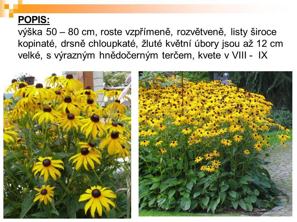 POPIS: výška 50 – 80 cm, roste vzpřímeně, rozvětveně, listy široce kopinaté, drsně chloupkaté, žluté květní úbory jsou až 12 cm velké, s výrazným hněd