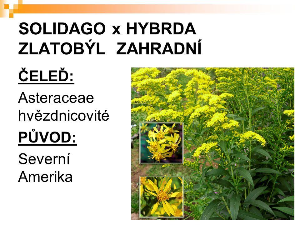SOLIDAGO x HYBRDA ZLATOBÝL ZAHRADNÍ ČELEĎ: Asteraceae hvězdnicovité PŮVOD: Severní Amerika