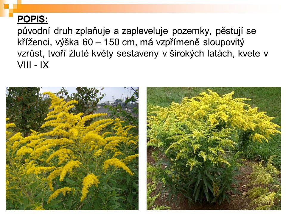 POPIS: původní druh zplaňuje a zapleveluje pozemky, pěstují se kříženci, výška 60 – 150 cm, má vzpřímeně sloupovitý vzrůst, tvoří žluté květy sestaveny v širokých latách, kvete v VIII - IX